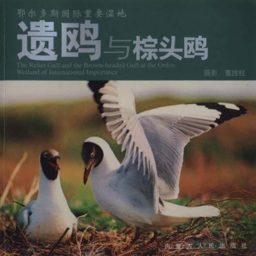 The Relict Gull and the Brown �C headed Gull at the Ordos Wetland of International Importance